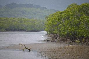 世界遺産西表島のマングローブ林の写真素材 [FYI04912007]