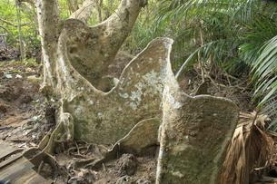 古見のサキシマスオウノキ群落のサキシマスオウノキの写真素材 [FYI04912019]
