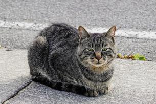 岩木山展望所で見かけたキジトラ猫(八甲田ゴールドラインこと国道103号沿い)の写真素材 [FYI04912405]