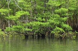 沖縄・西表島 仲間川のマングローブ林の写真素材 [FYI04912811]