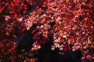 赤く染まったモミジの紅葉の写真素材 [FYI04913340]