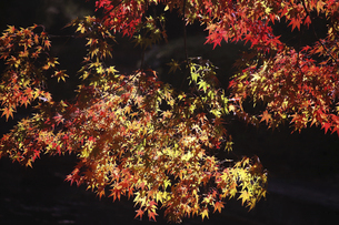 色づくモミジの紅葉の写真素材 [FYI04913341]