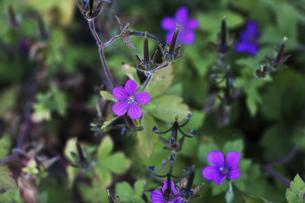 薬草・ゲンノショウコの花と実の写真素材 [FYI04913359]