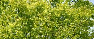 新緑のケヤキの写真素材 [FYI04913417]