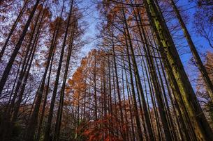 メタセコイアの林が紅葉  生田緑地の森の散歩道(神奈川県川崎市)の写真素材 [FYI04913429]