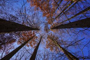 メタセコイアの林が紅葉  生田緑地の森の散歩道(神奈川県川崎市)の写真素材 [FYI04913433]