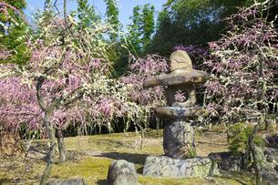 しだれ梅咲く京都城南宮の写真素材 [FYI04913772]