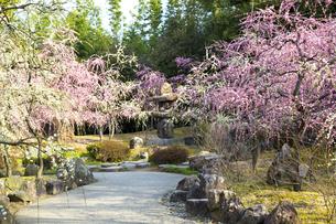 しだれ梅咲く京都城南宮の写真素材 [FYI04913807]