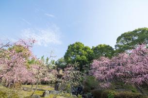 しだれ梅咲く京都城南宮の写真素材 [FYI04913808]