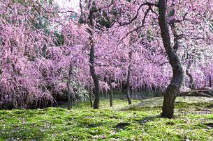 しだれ梅咲く京都城南宮の写真素材 [FYI04913810]