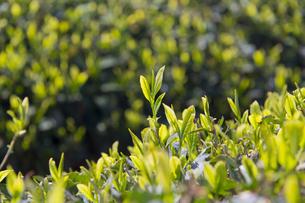 新茶の写真素材 [FYI04913945]