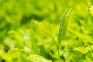 茶葉の写真素材 [FYI04913953]