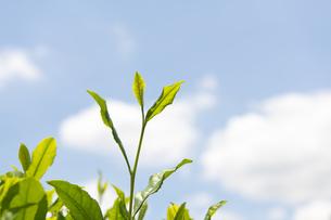 お茶の葉の写真素材 [FYI04913956]