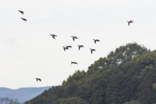 オシドリの群れの写真素材 [FYI04914034]