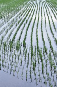 水が張られた苗と映り込んだ空と白い雲のさざ波が立つ田んぼの光景の写真素材 [FYI04914204]