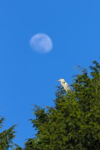 アオサギと月の写真素材 [FYI04914250]