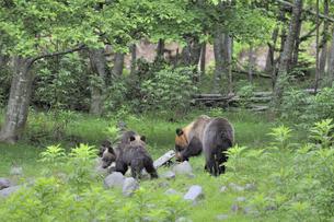 岩を動かしてアリを探すヒグマの親子(北海道・知床)の写真素材 [FYI04914379]