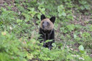 ドングリを食べるヒグマの幼獣(北海道・知床)の写真素材 [FYI04914407]