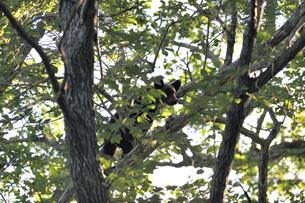 木に登ってドングリを探すヒグマの幼獣(北海道・知床)の写真素材 [FYI04914408]