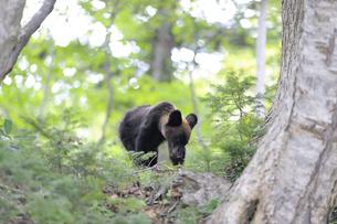 ドングリを食べるヒグマの幼獣(北海道・知床)の写真素材 [FYI04914409]
