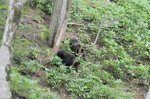 ドングリを探すヒグマの兄弟(北海道・知床)の写真素材 [FYI04914410]