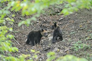 ドングリを食べるヒグマの兄弟(北海道・知床)の写真素材 [FYI04914412]