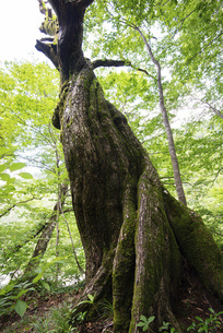 ブナの古木の写真素材 [FYI04914573]