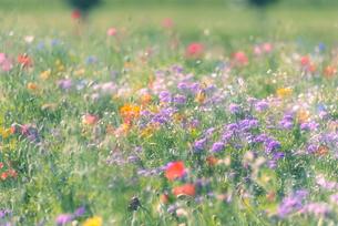 野を彩る花々の写真素材 [FYI04914945]