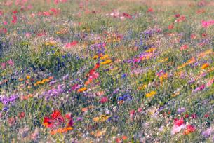 野を彩る花々の写真素材 [FYI04915056]