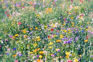 野を彩る花々の写真素材 [FYI04915152]
