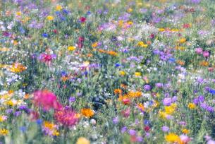 野を彩る花々の写真素材 [FYI04915169]