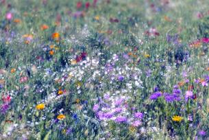 野を彩る花々の写真素材 [FYI04915209]