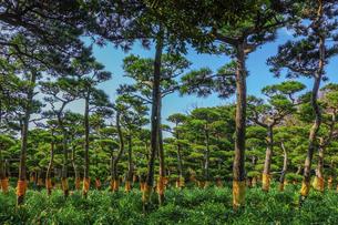 青空を背景に城ヶ島公園の松林の写真素材 [FYI04915859]