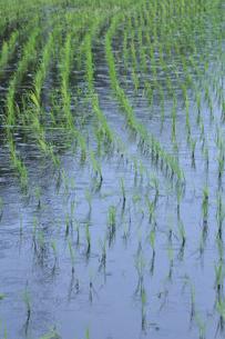 水が張られ苗が並ぶ田んぼの光景の写真素材 [FYI04915917]