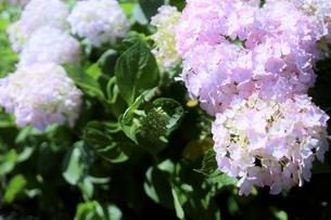 メルヘン ピンクの紫陽花の写真素材 [FYI04916420]
