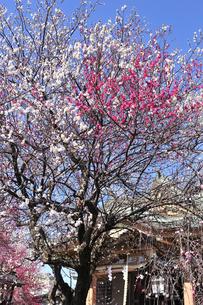 梅の花の写真素材 [FYI04916430]