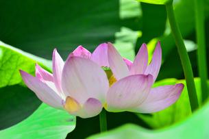 千葉公園に咲く大賀ハス(オオガハス、おおがはす)のピンク色の花(古代のハスの実から発芽・開花したハス(古代ハス)の写真素材 [FYI04916949]