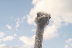 青空バックにダチョウの顔クローズアップ - 北海道ニセコ町のニセコダチョウ牧場の写真素材 [FYI04917034]