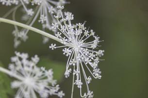 屋外で撮影したシシウドの花の写真素材 [FYI04917163]