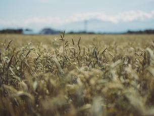 麦畑の写真素材 [FYI04917178]