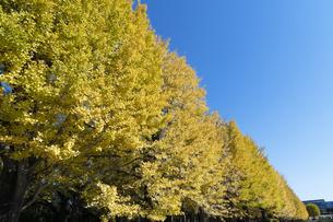 イチョウ並木の黄葉の写真素材 [FYI04917272]