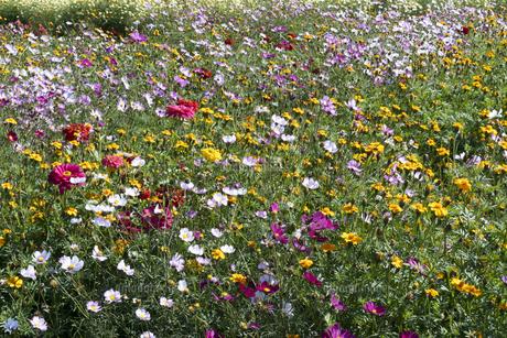 コスモスとマリーゴールドの花畑の写真素材 [FYI04917281]