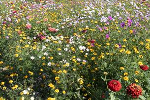 コスモスとマリーゴールドの花畑の写真素材 [FYI04917282]
