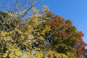 イチョウの黄葉とトウカエデの紅葉の写真素材 [FYI04917289]