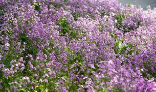 オオバンソウ群れ咲の写真素材 [FYI04917353]