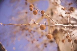 冬のヨーロッパ 丸い木の実のたくさん付いた白い幹の木の写真素材 [FYI04917358]