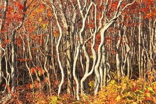10月 夕日に輝く鳥海山の紅葉のブナ二次林の写真素材 [FYI04917586]