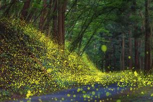 森に舞うヒメボタルの写真素材 [FYI04917653]