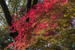 モミジの紅葉の写真素材 [FYI04917829]