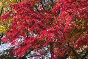 モミジの紅葉の写真素材 [FYI04917830]